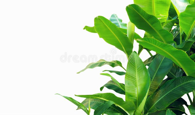 Banana leaves isolated on white background. royalty free stock images