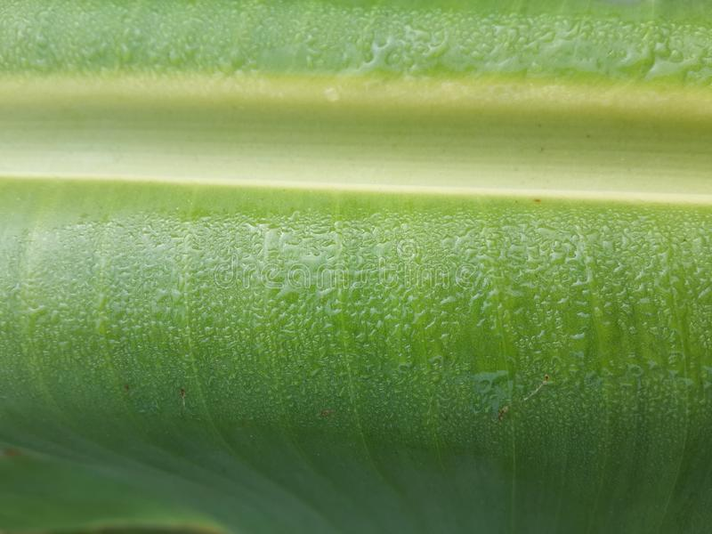 Banana leaves texture royalty free stock image