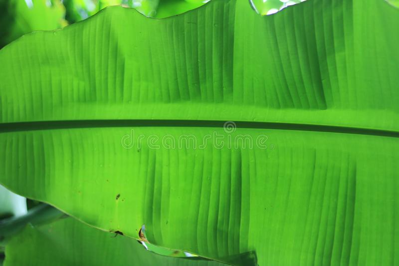 Banana leaves are used for decorative and symbolic purposes in numerbnbanana leaves in a jungle.... Numeroushinduandbuddhistceremonies, thatch2banana, andpalm stock photos