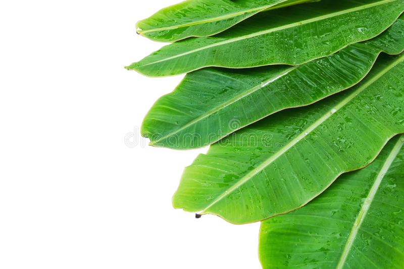 Banana leaves with water drop on white background stock images
