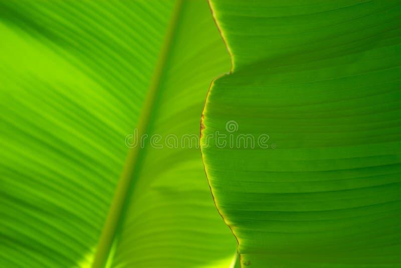 banana liści blisko palma. obraz stock