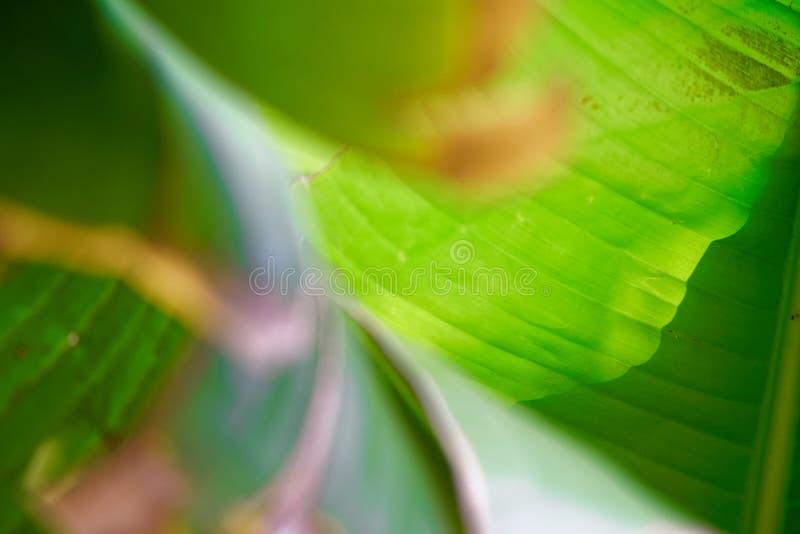 Banana liście, światło i cień zielony tropikalny ulistnienie tekstury tło, zdjęcie stock