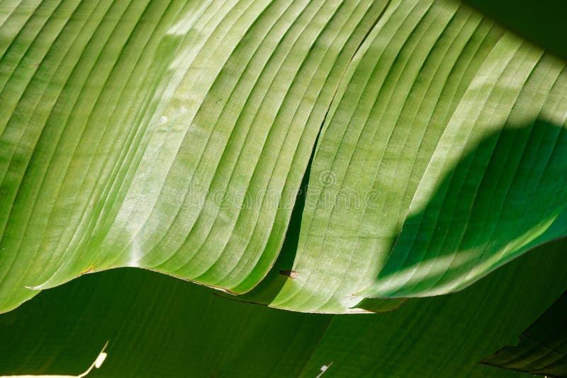 Banana liście, światło i cień zielony tropikalny ulistnienie tekstury tło, obrazy stock