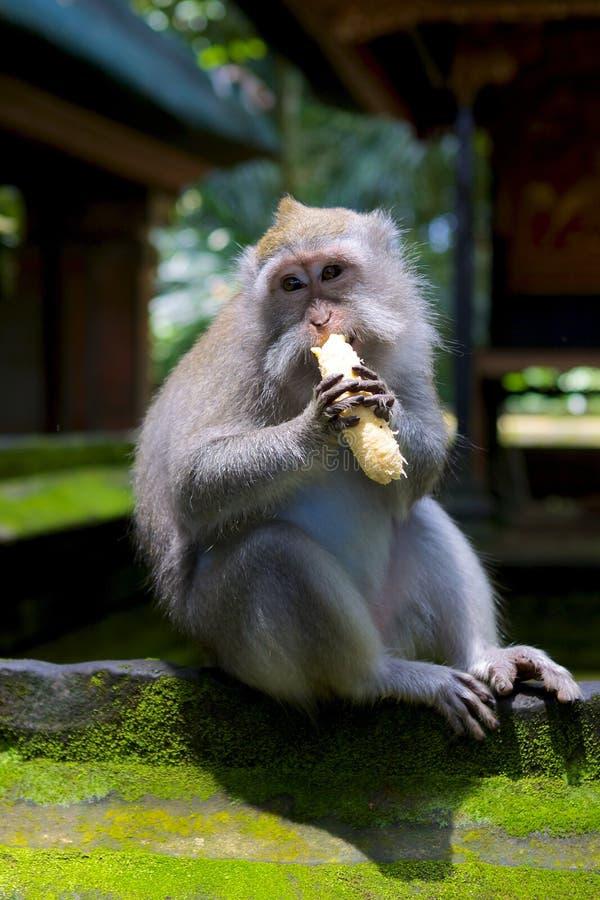 Banana Muncher immagine stock
