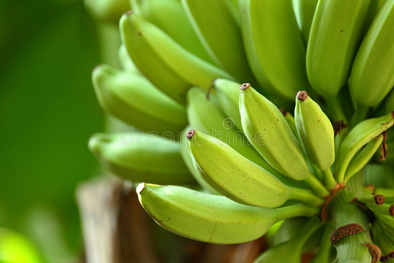 Banana na árvore foto de stock royalty free