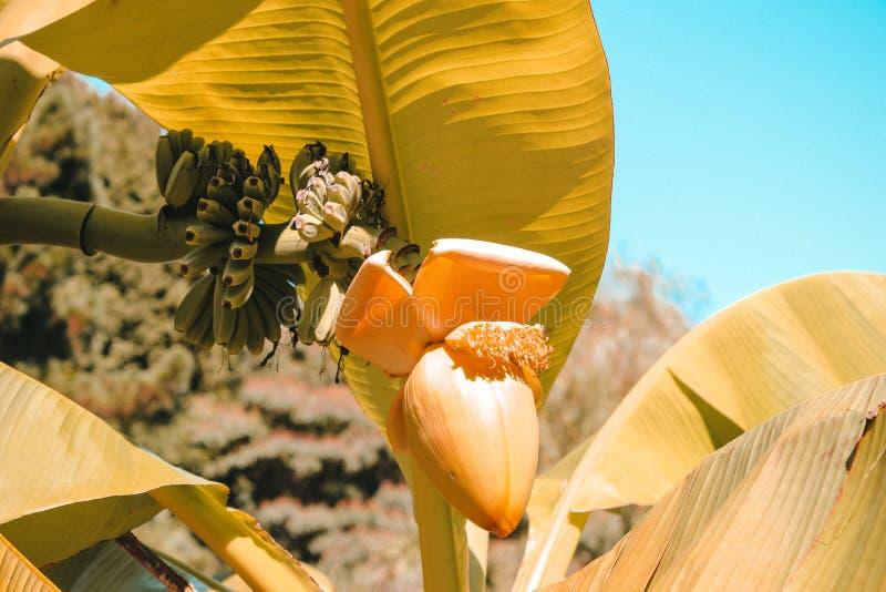 Banana na árvore imagem de stock royalty free