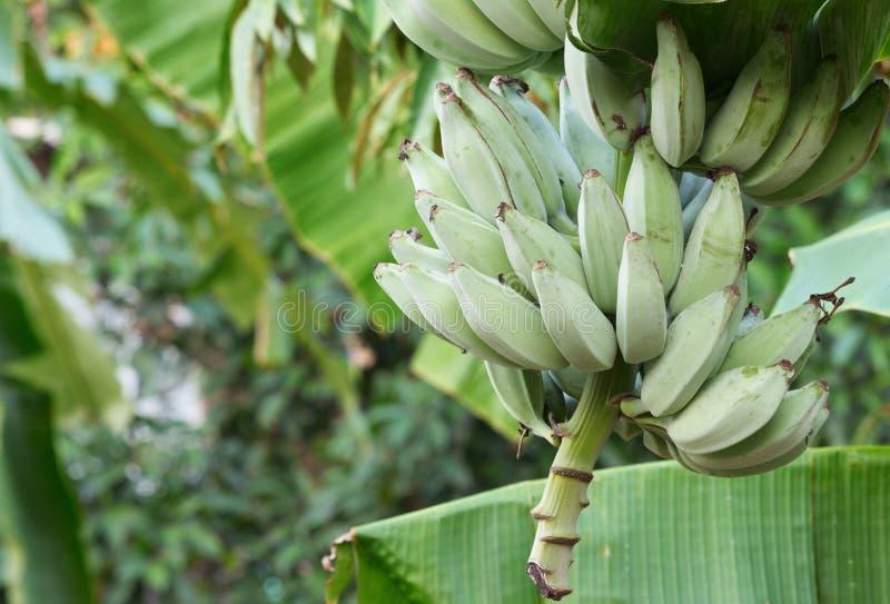 Banana in nature stock image