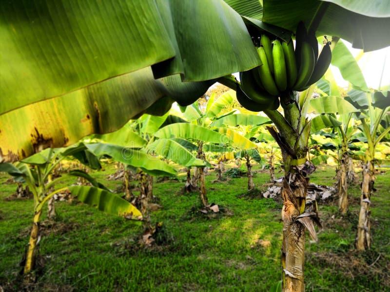Banana non matura di Cavendish fotografia stock