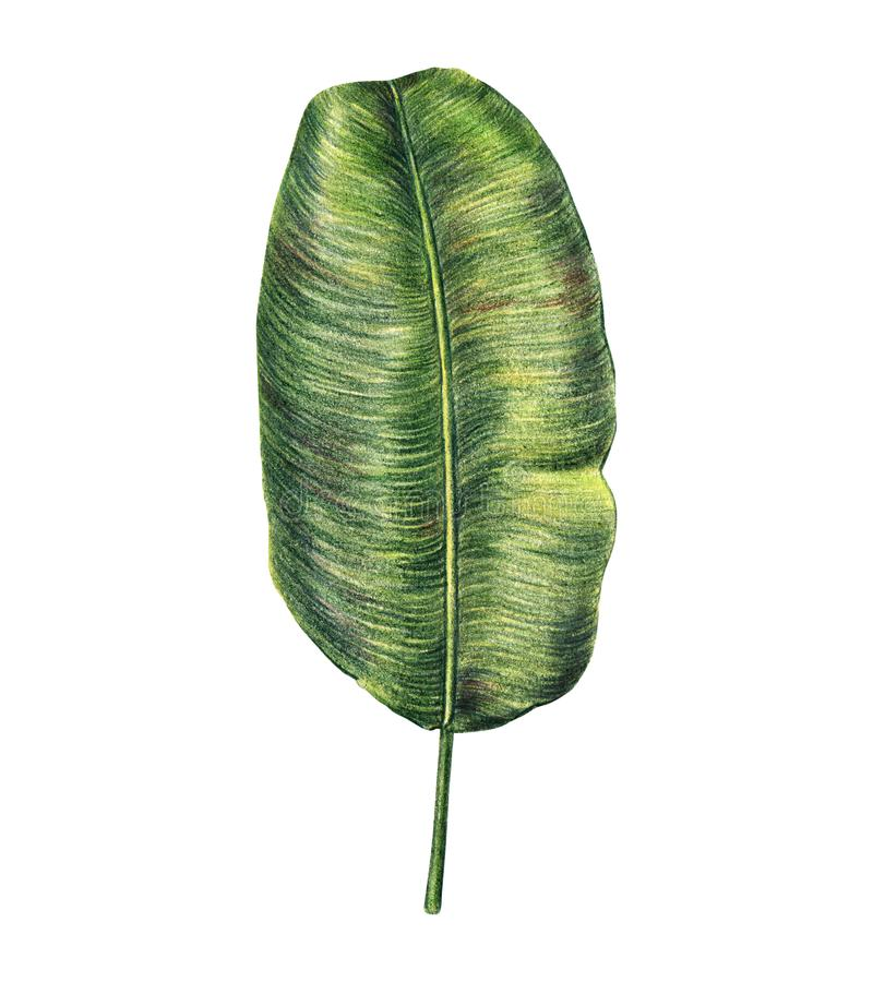 Banana palm leaf hand drawn with colored pencils royalty free illustration