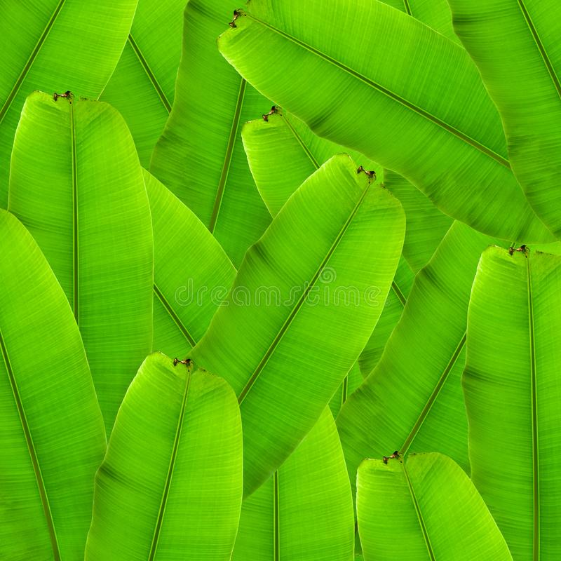 Banana palm tree collection isolated on a white background.Banana leaves and banana bunch for graphic design.Tropical fruits are e. Asy to grow and are popular royalty free stock images