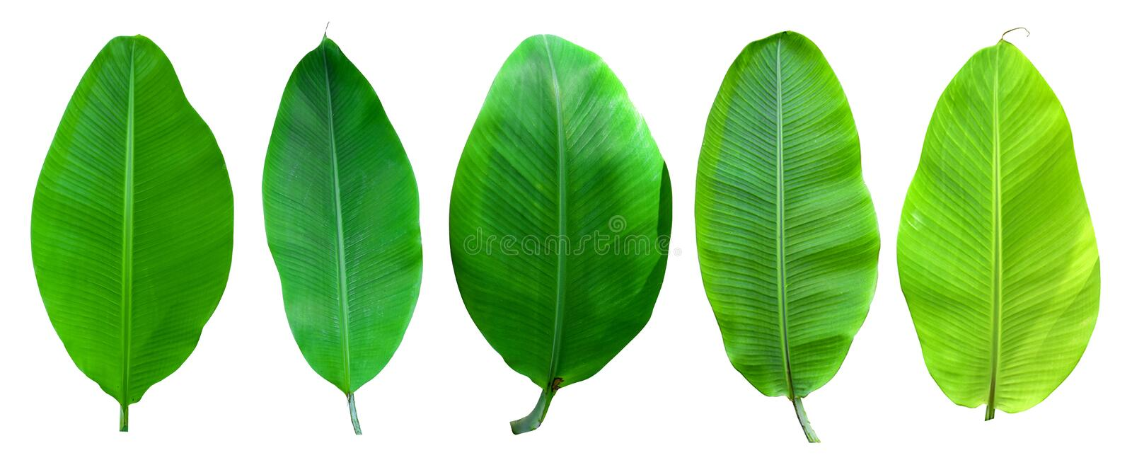 Banana palm tree collection isolated on a white background.Banana leaves and banana bunch for graphic design.Tropical fruits are e. Asy to grow and are popular stock photo