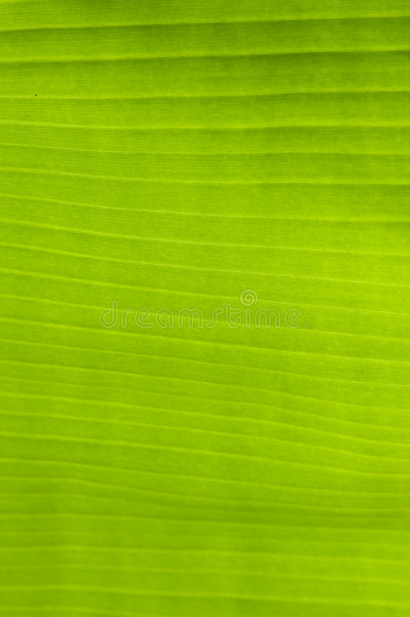 Banana palm tree green leaf. Close-up background royalty free stock images