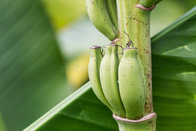 Banana pequena fotos de stock