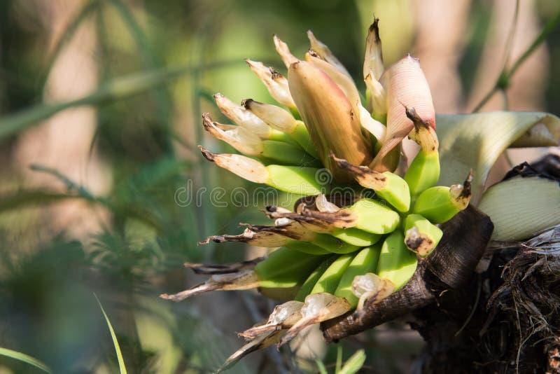 A banana pequena foto de stock royalty free