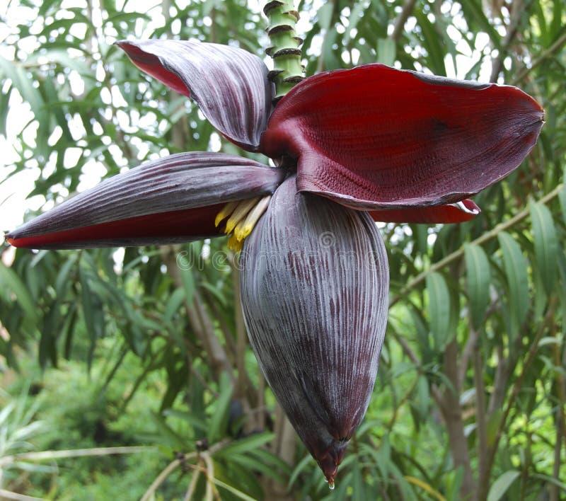 Banana Plant Flower royalty free stock image
