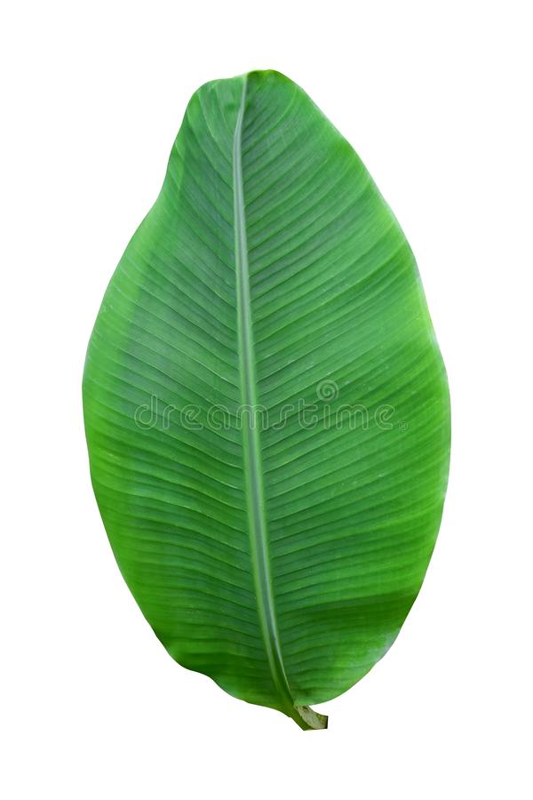 Banana plant leaf, the tropical evergreen vine isolated on white background, clipping path included. Real zise stock photos