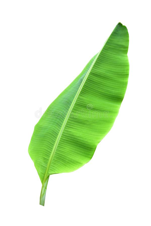 Banana plant leaf, the tropical evergreen vine isolated on white background, clipping path included. Real zise royalty free stock photography