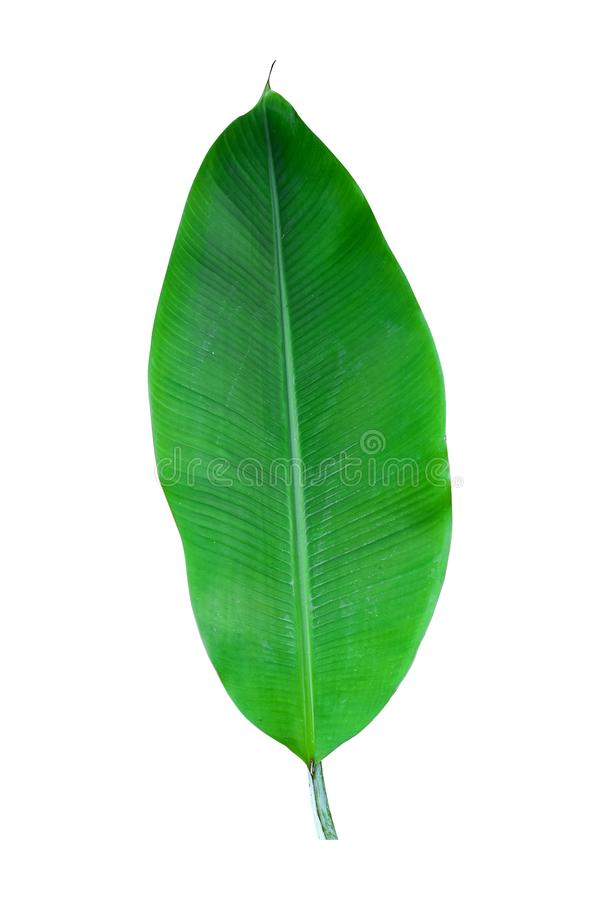 Banana plant leaf, the tropical evergreen vine isolated on white background, clipping path included. Real zise stock photography