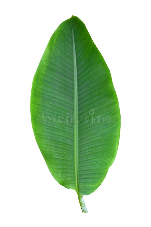 Banana plant leaf, the tropical evergreen vine isolated on white background, clipping path included. Real zise royalty free stock photo