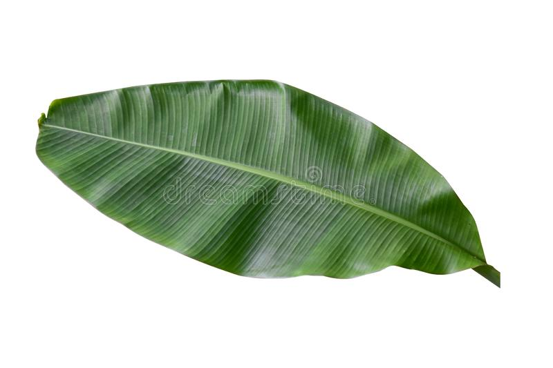 Banana plant leaf, the tropical evergreen vine isolated on white background, clipping path included. Real zise royalty free stock photos