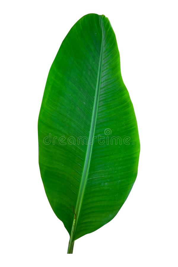 Banana plant leaf, the tropical evergreen vine isolated on white background, clipping path included. Real zise royalty free stock images