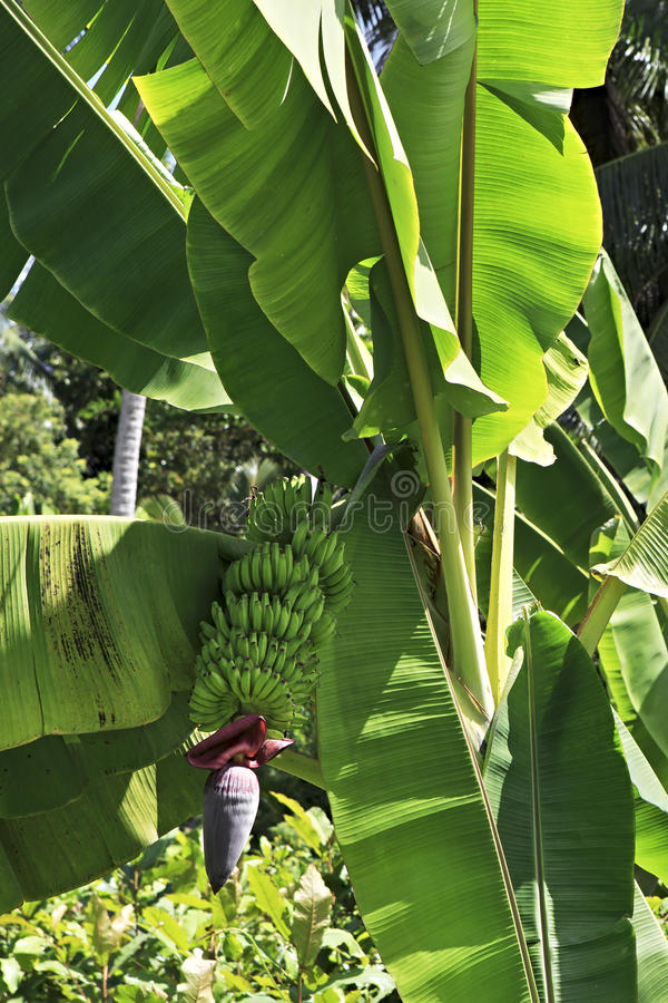 Free Banana Plant With Fruits Royalty Free Stock Photography - 51906247