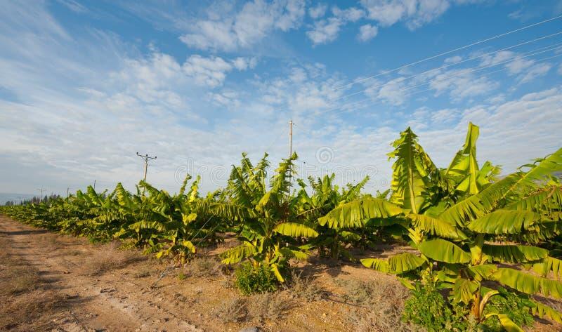 Download Banana Plantation stock photo. Image of east, earth, garden - 28322062