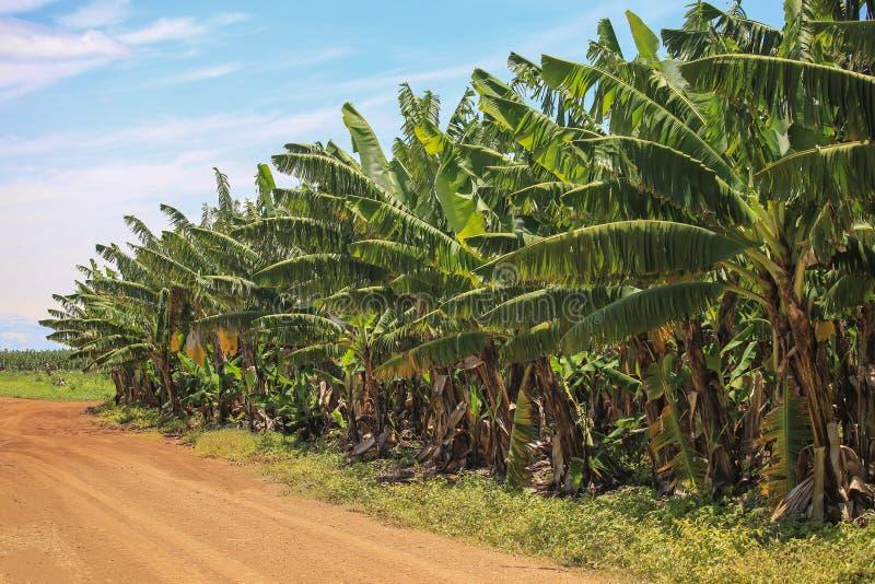 Banana plantation, fruit orchard. Sandy road. Banana plantation, fruit orchard. Banana tree. Agriculture of Australia. Wall of palm trees stock photos