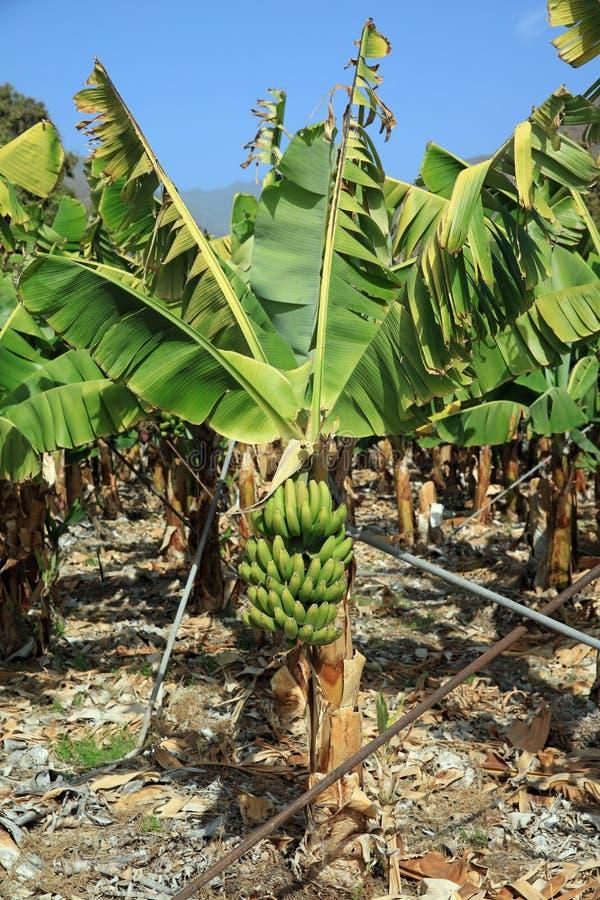 Banana Plantation on La Gomera. Canary Islands. Spain royalty free stock image
