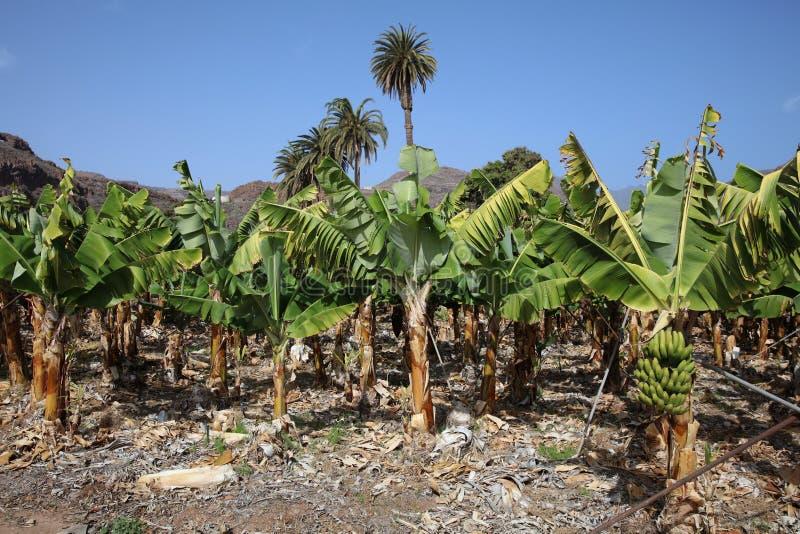 Banana Plantation on La Gomera. Canary Islands. Spain stock images