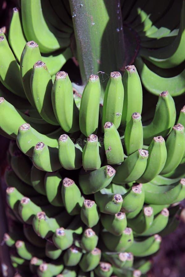 Banana Plantation on La Gomera. Canary Islands. Spain. Europe royalty free stock photography
