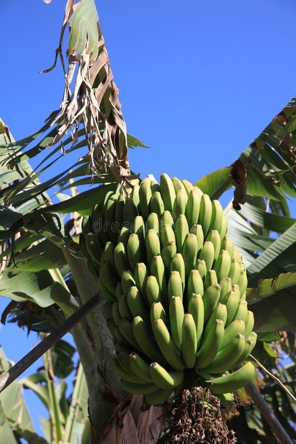 Banana Plantation on La Gomera. Canary Islands. Spain. Europe stock photos