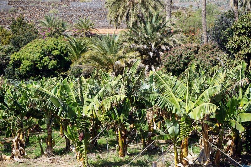 Banana plantation. On the La Gomera island in Canary island, Spain royalty free stock images