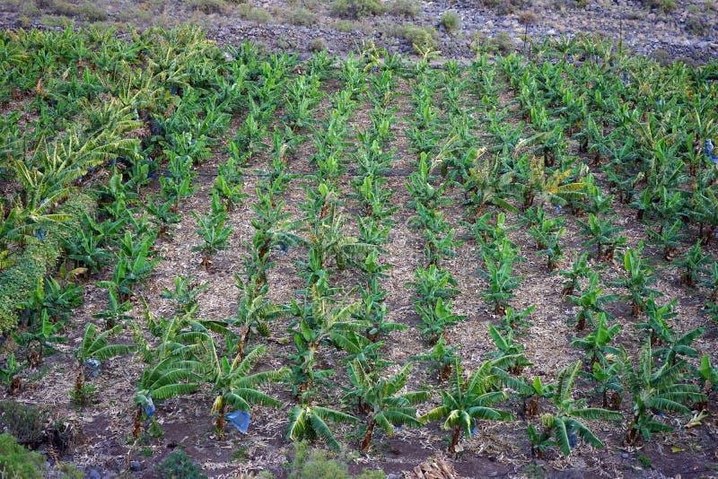 Banana plantation. On the La Gomera island in Canary island, Spain stock photography
