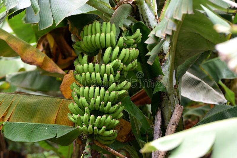 Banana plantation, La Palma royalty free stock photos