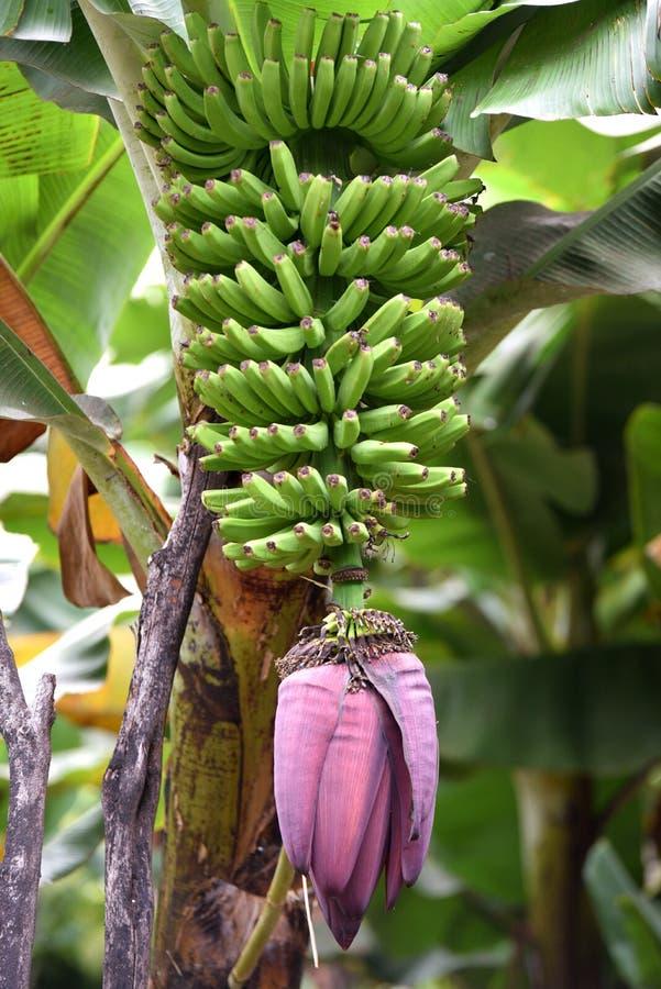 Banana plantation, La Palma stock photos