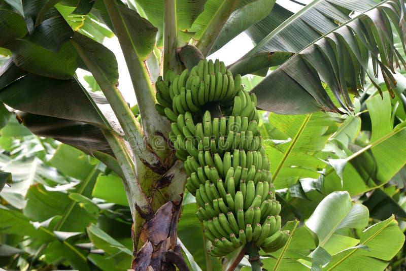 Banana plantation, La Palma stock photography
