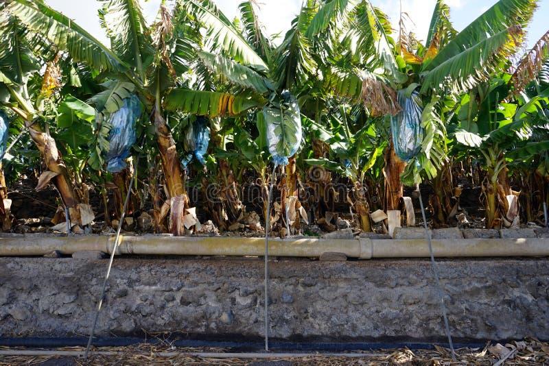 Banana plantation. Banana plantatiuon and asphalt road on the La Gomera island, Spain royalty free stock photo