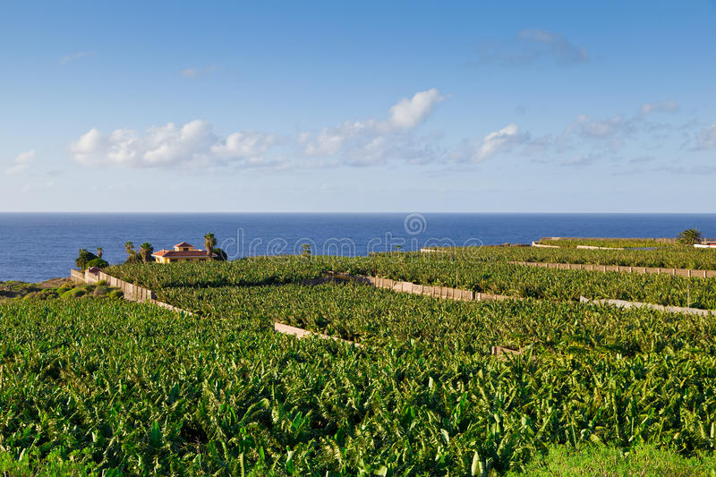 Download Banana Plantation In Tenerife, Spain Stock Image - Image of plantation, lush: 28265695