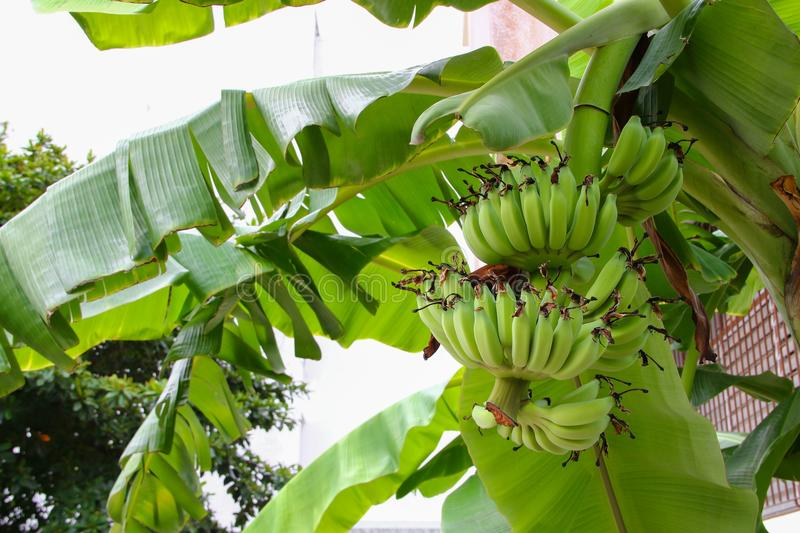 Banana raw with a bunch on the tree stock image