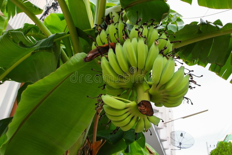 Banana raw with a bunch on the tree royalty free stock images