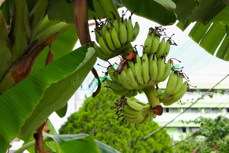 Banana raw with a bunch on the tree stock photo