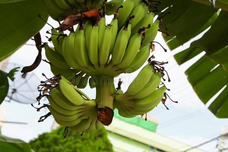 Banana raw with a bunch on the tree royalty free stock photo
