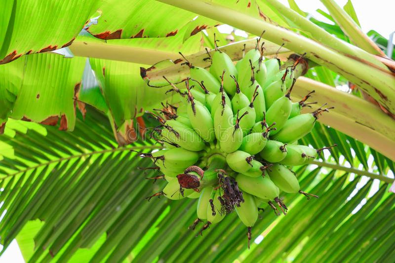Banana raw with a bunch on the tree with copy space add text stock photography