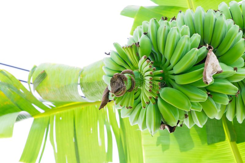 Banana raw and bunch on the tree in nature with white background stock photography