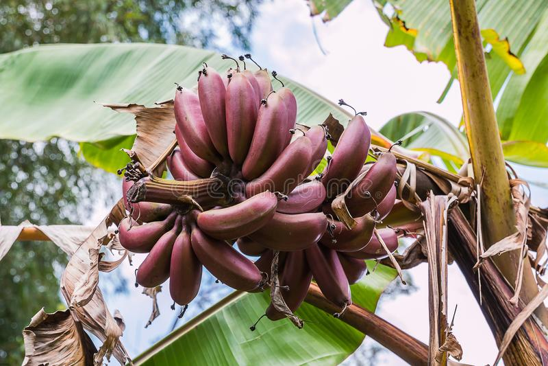 banana roxa imagem de stock royalty free