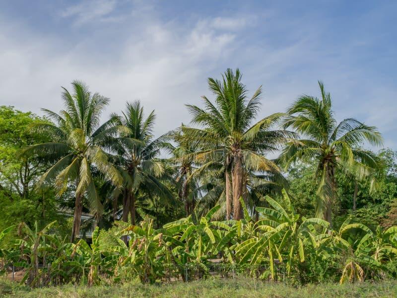 Banana's farm with coconut behind royalty free stock image