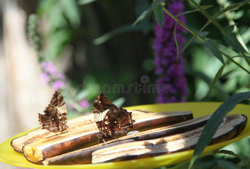 Banana snacks for butterflies. Multiple butterflies feasting on slices of banana royalty free stock photos