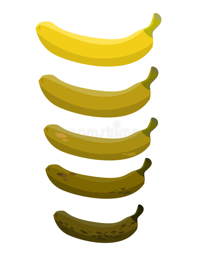 Banana. Stage of rotting banana. Beautiful yellow fresh banana. And old rotten fruit vector illustration