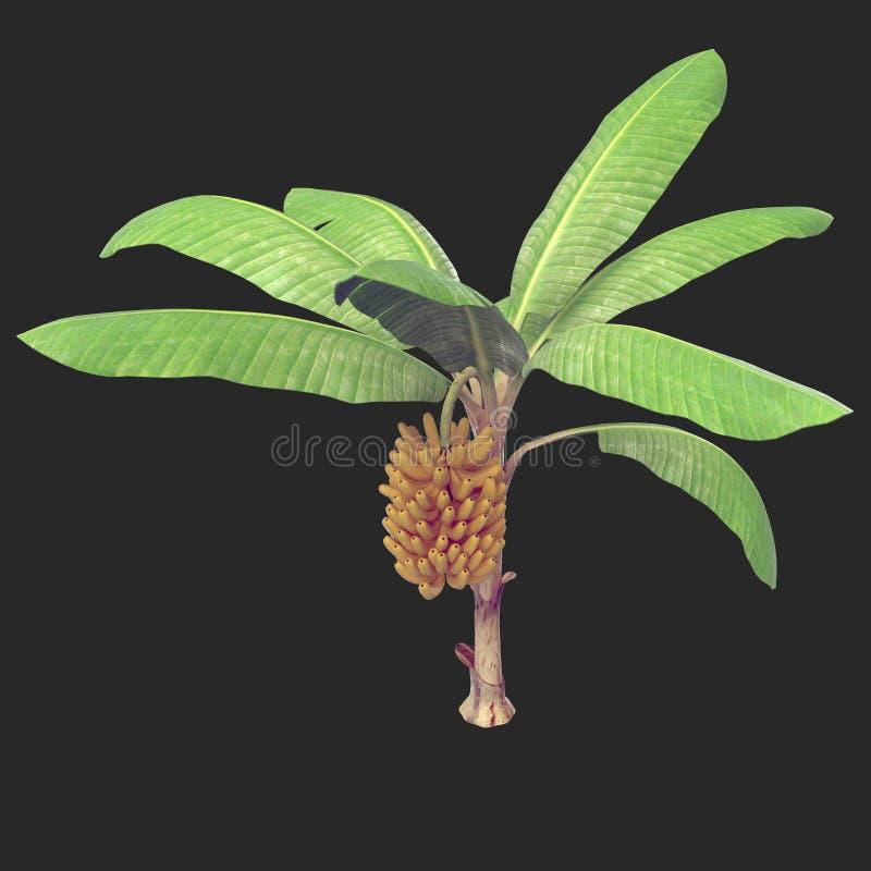 Free Banana Tree 04 Royalty Free Stock Images - 115339349